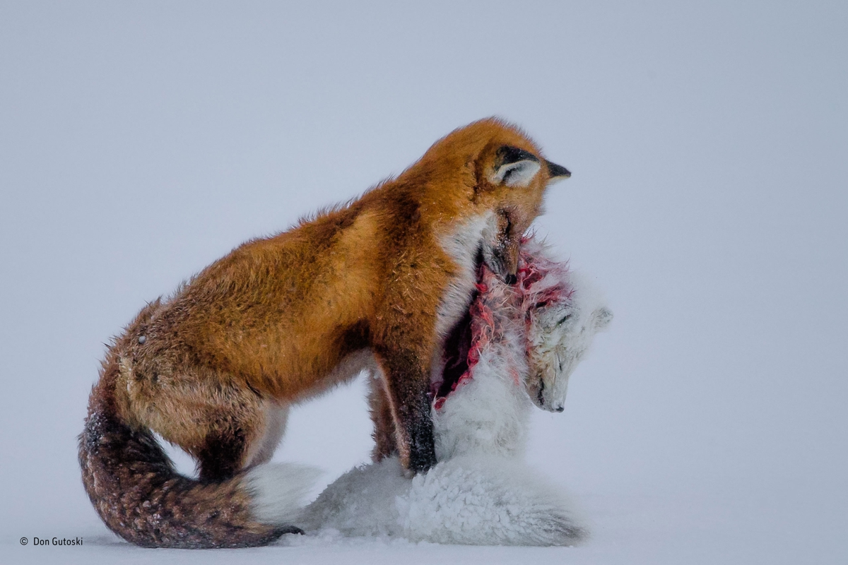 A tale of two foxes, Don Gutoski, Canada
