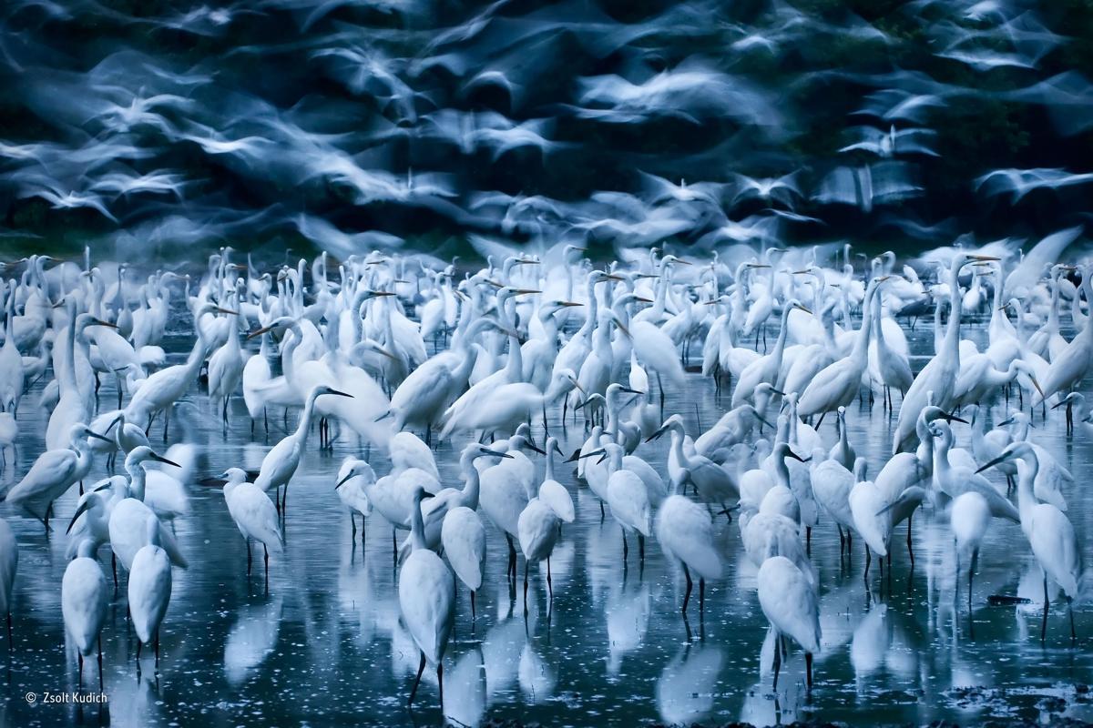 Great egret awakening, Zsolt Kudich, Hungría