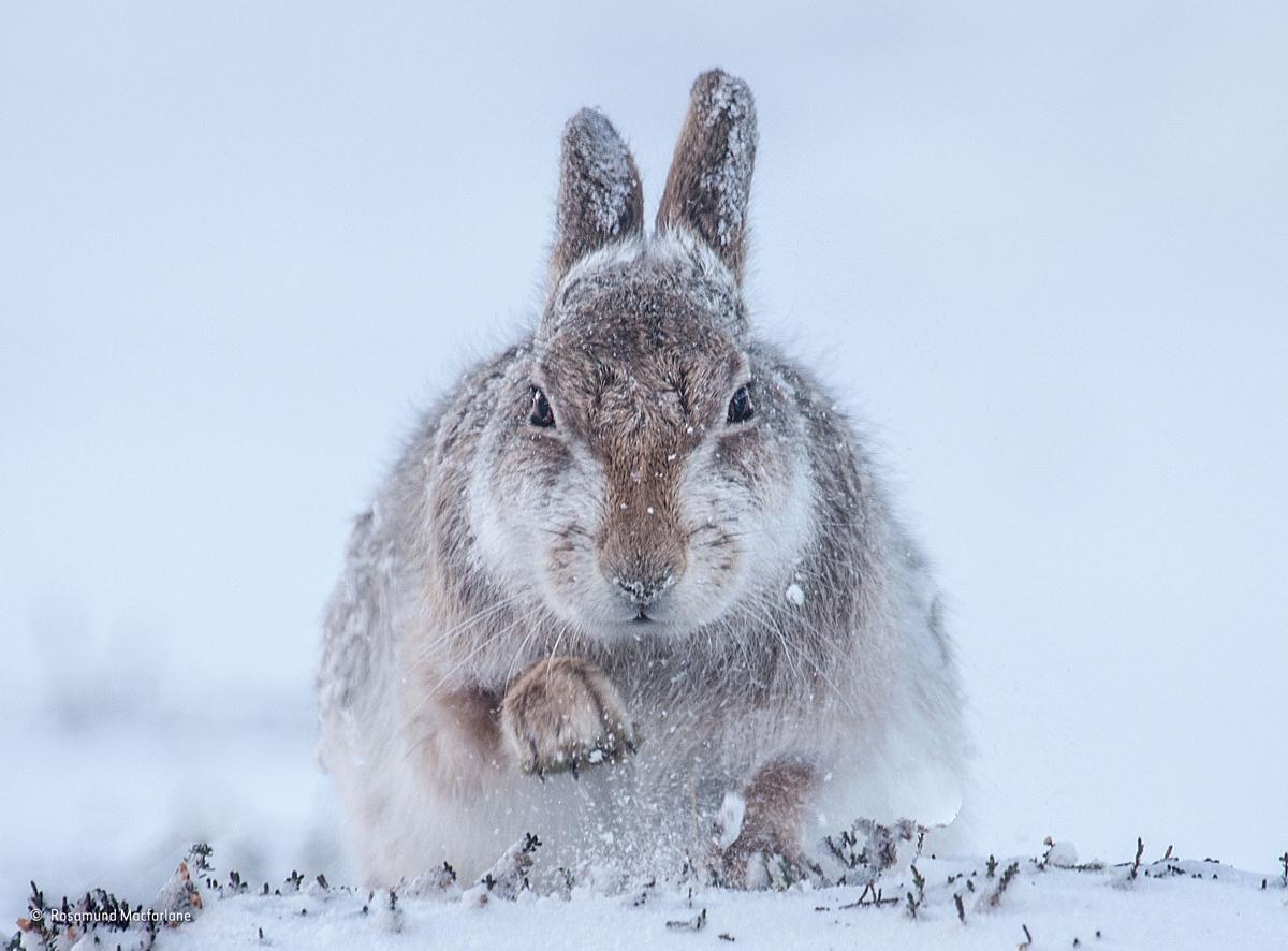 Snow hare, Rosamund Macfarlane, UK