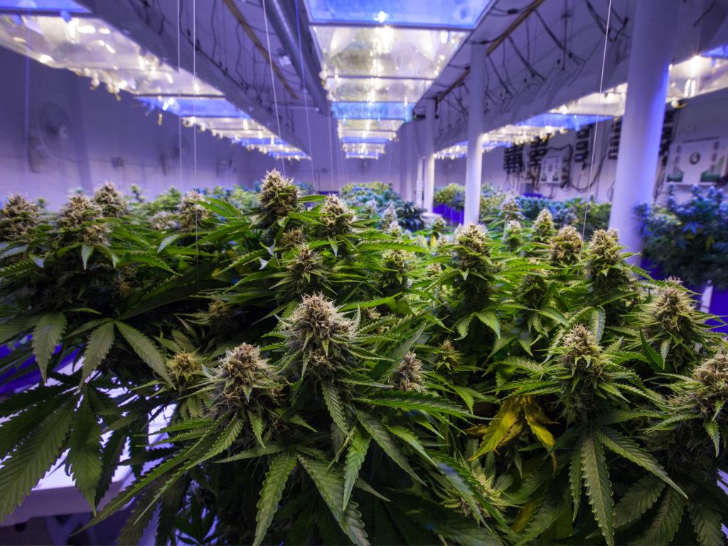 cursos de cultivo de cannabis