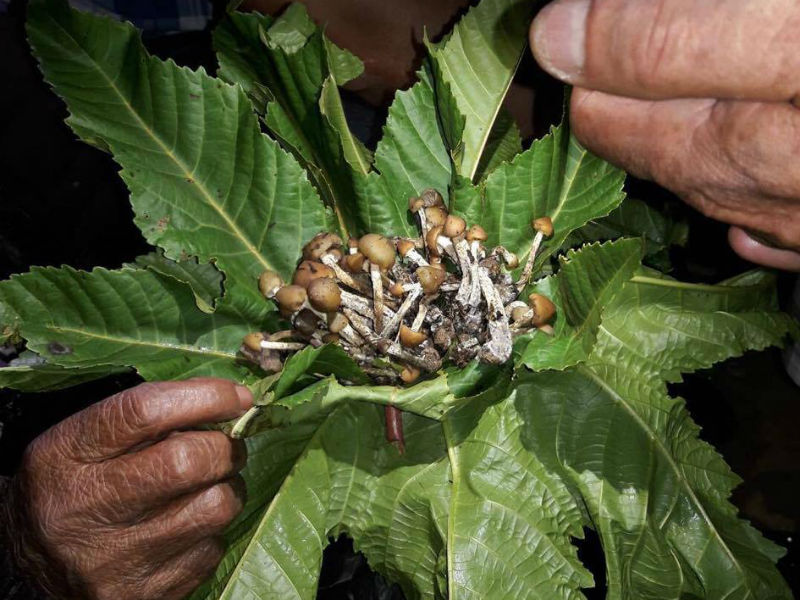 hongos alucinógenos en San Pedro Tlanixco